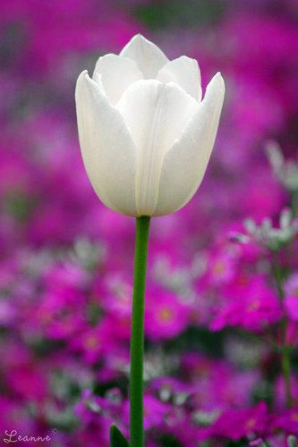 Gorgeous white tulip