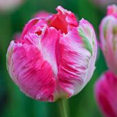 What a sweet pink tulip!