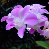 Lovely pink orchids