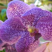 Spotted purple orchid