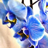 Unusual blue orchids