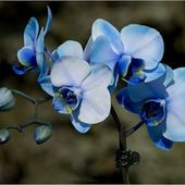 Have you seen blue orchids?