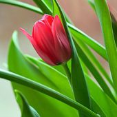 Beautiful red tulip