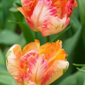 Two bright tulips