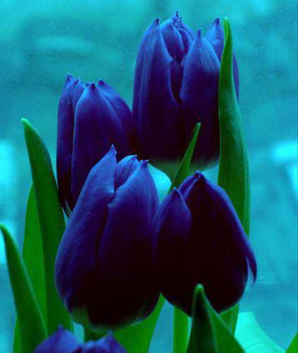 Rare blue tulips mightylinksfo