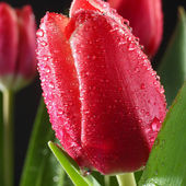 Amazing red tulips after rain