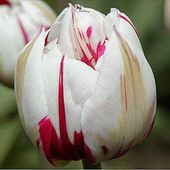 What a pretty tulip!