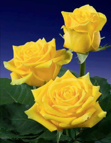 Very pretty yellow roses!