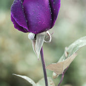 Stunning purple rose