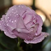 Purple rose with rain drops