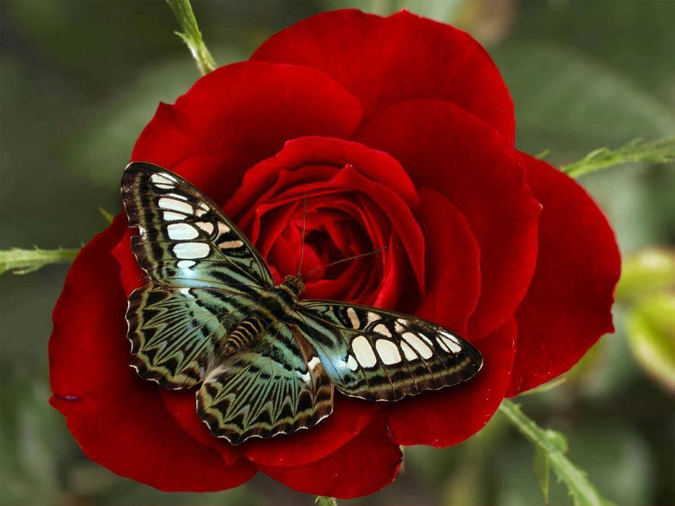Butterfly on Red Rose