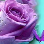 Amazing purple rose with drops