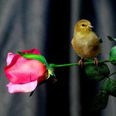 Small Bird and a Pink Rose