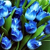 Blue wooden tulips