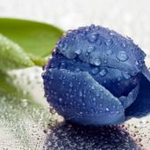Rare blue tulip after rain