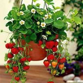Strawberries in a flower pot