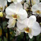 Lovely white orchids