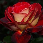 Awesome rose in the dark