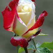 Amazing two coloured rose!