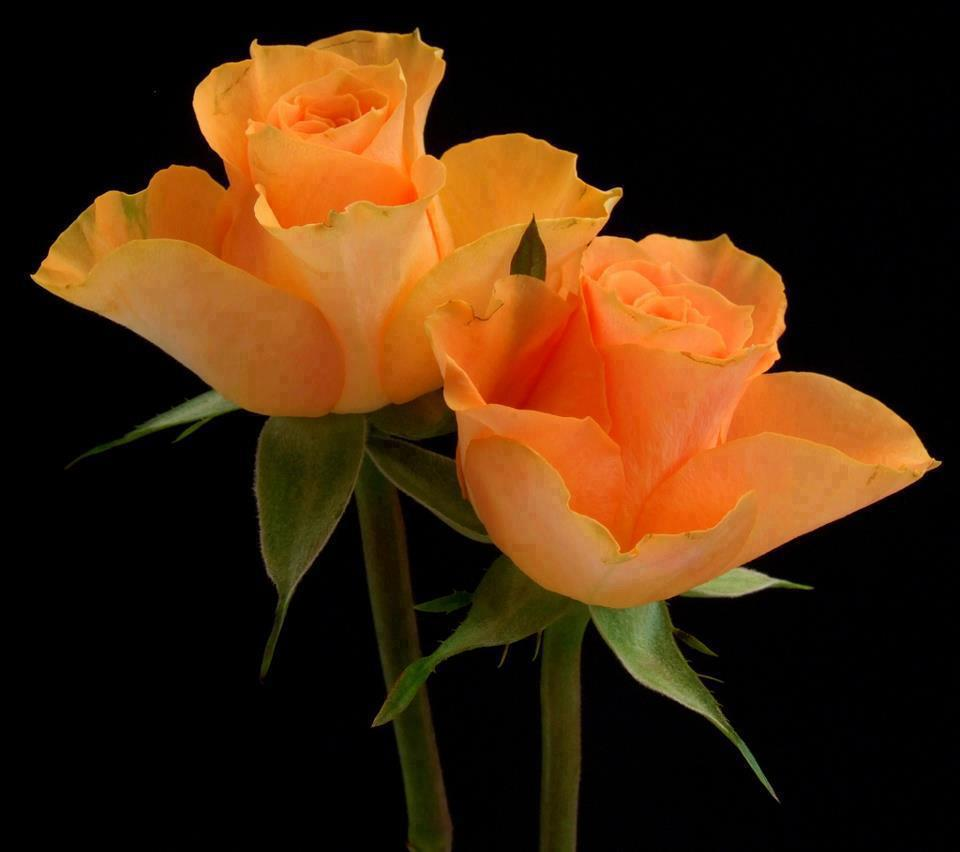 Orange roses in the dark