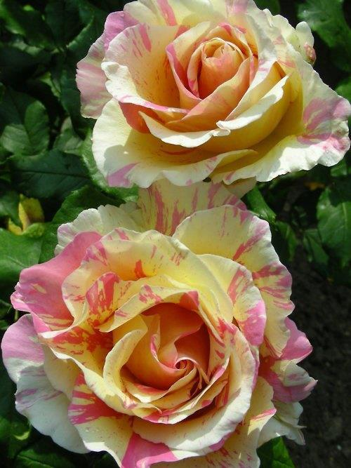 Two stunning roses
