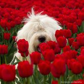 Puppy loves tulips!