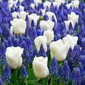 Grape hyacynth and white tulips