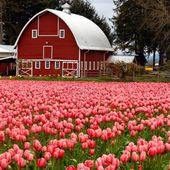 It's tulip time in Holland