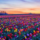 Amazing tulip field!