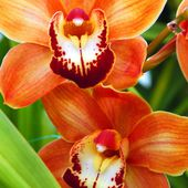 Lovely orange orchids