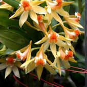 Williamson's Dendrobium orchid