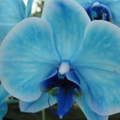Rare blue orchid