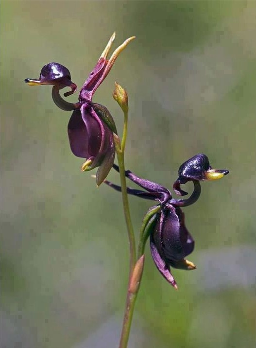 Unique Flying Duck Orchid