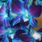 Amazing blue orchids