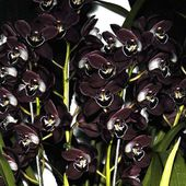 Unique black orchids