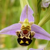 Happy flower (Bee orchid)