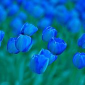 Amazing blue tulips