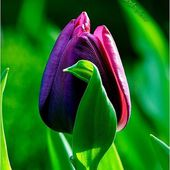 Amazing purple tulip