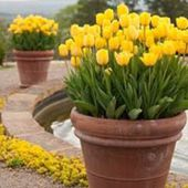 Yellow tulips in flower pots