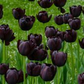 Very rare black tulips