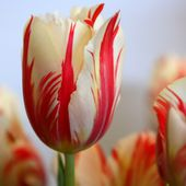 Beautiful striped tulips!