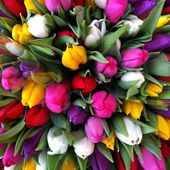 Huge bunch of colourful tulips