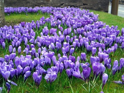 Vibrant purple crocuses