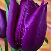 Purple tulip with water drops