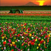 Tulips and tractor, Oregon