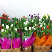 Baskets of colourful tulips