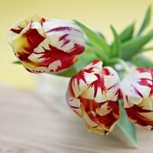 Beautiful striped tulips