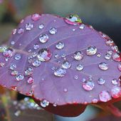 Purple Leaf with Rain Drops