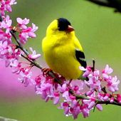 Beautiful yellow bird
