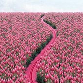 Road through tulip field